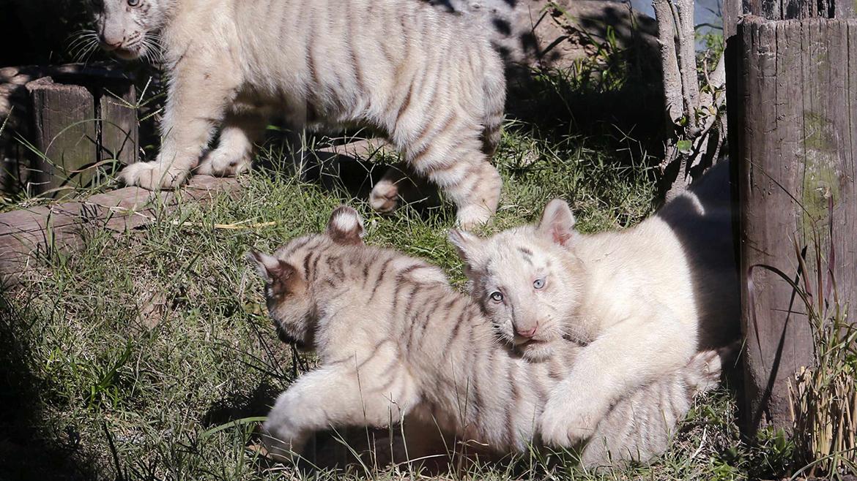 Imagenes nacieron tigres de bengala en el zool gico for Bengala asia