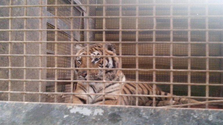 Las autoridades encontraron a 9 tigres de bengala hacinados en un circo de Chaco