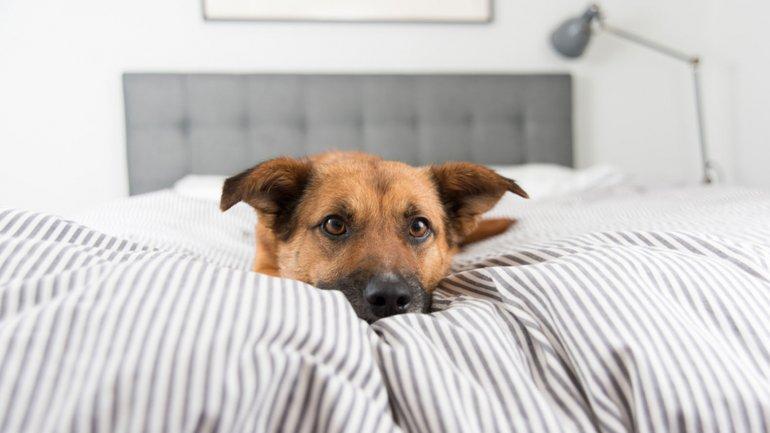 El 65% de los perros chicos duerme con su dueño