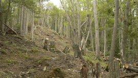 86 de los 255 árboles talados pertenecían al Parque Nacional