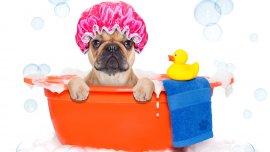 Cómo convertir al perro en un adicto al baño
