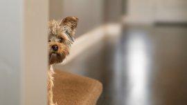 La sensibilidad auditiva de los animales es mayor que la de los seres humanos