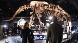De la Patagonia a la Gran Manzana. El titanosaurio es hoy una de las atracciones mayores del Museo de Historia Natural neoyorquino