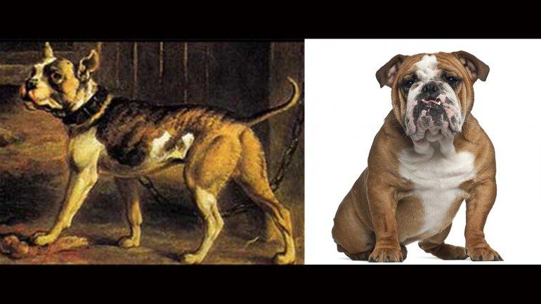 El Bulldog inglés es una de las razas que más sufrió con las manipulaciones genéticas
