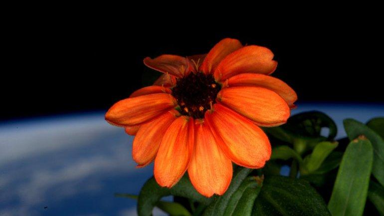 Una zinnia, la primera flor nacida en el espacio