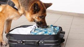 El entrenamiento comienza cuando los perros tienen 8 semanas