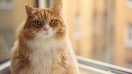 Casi el 60% de los gatos padecen actualmente sobrepeso