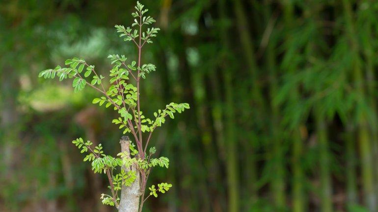 La moringa es un arbol con muchos beneficios medicinales