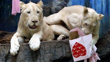 Algunas parejas de felinos en Tailandia también recibieron regalos por San Valentín.