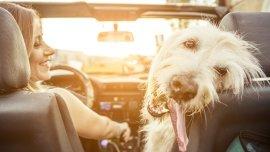 Las mascotas son inquietas y hay que tomar recaudos en los autos