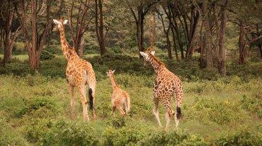 El Giraffe Centre organiza excursiones para ecologistas, colegios y biólogos.