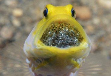 Un pez con sus futuras crias en la boca, tomada porSuzan Meldonian, cerca de Blue Heron Bridge en Florida, EEUU