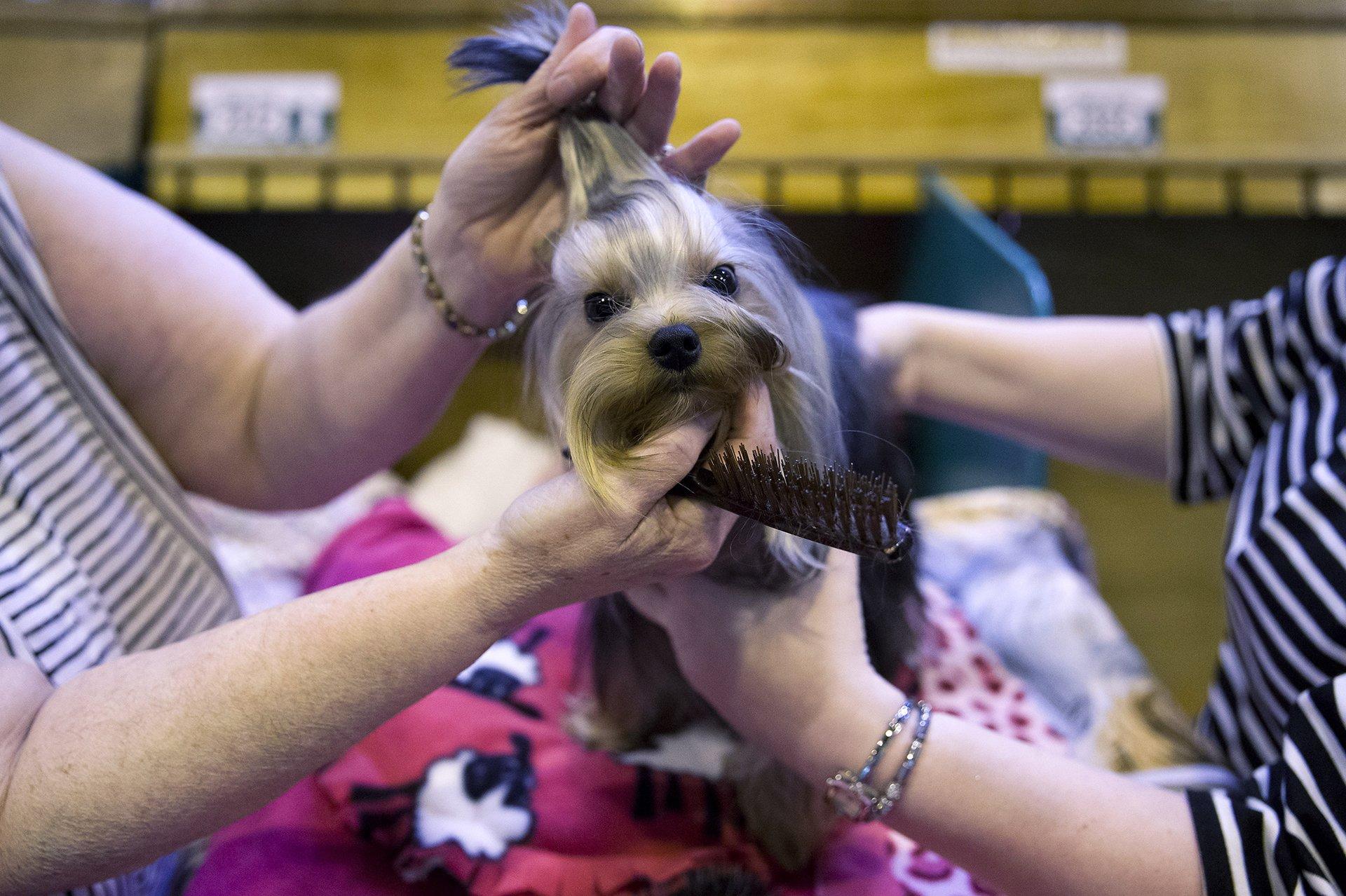El gran espectáculo anual canino está de vuelta: Crufts 2016, creado en la época victoriana por el fallecido Charles Cruft