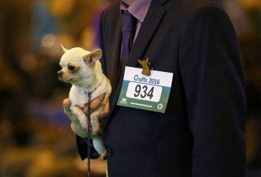 Un Chihuahua en brazos de su dueño