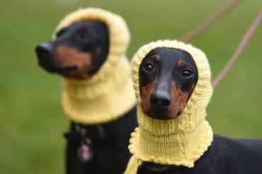 Betty, izquierda, y Mabel, dos terrieres de Manchester