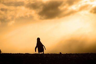 La reserva de Punta Tombo, ubicada a unos 110 kms de la ciudad de Trelew, es la colonia de Pingüinos de Magallanes más importante de la costa Patagónica. (Chubut)