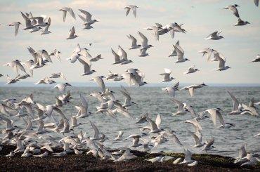 Centenares de gaviotas sobrevuelan la costa de Chubut en busca de alimento.